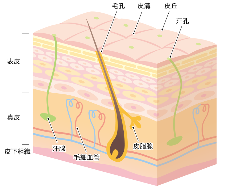 皮膚拡大図